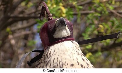 Peregrine falcon with hood