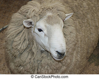 Perendale - A woolly Perendale sheep in a pen