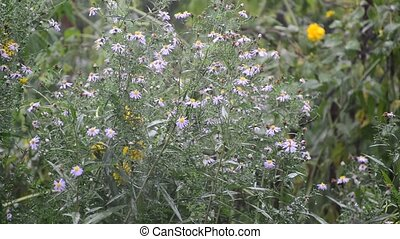 Perennial asters in rain in summer - Perennial asters in the...