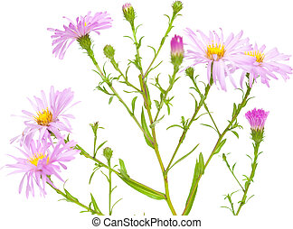 perennial  asters isolated on white background