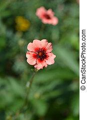 Perennial Cinquefoil - Latin name - Potentilla x hopwoodiana