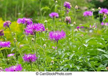 perennial cornflower or Centaurea dealbata flower