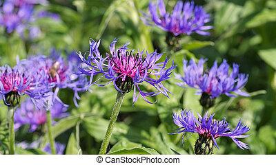 perennial cornflower or Centaurea montana flower in spring garden