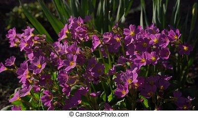Perennial garden purple primrose swaying in the wind, slow mo, flowers in the garden