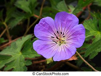 Perennial geranium flower Rozanne variety
