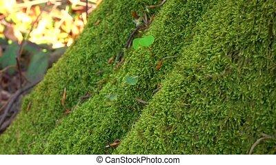 Perennial green moss grown on tree trunk. Close ups, details...