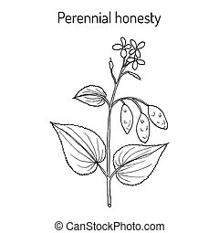 Perennial honesty Lunaria rediviva , medicinal plant. Hand...