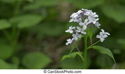 Perennial honesty spring wildflower, nature scene. - Close...
