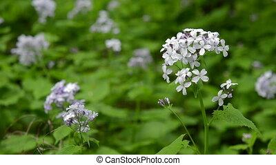 Perennial honesty spring wildflower, nature scene. - Close...