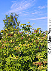 Perennial plants with blue sky and clouds