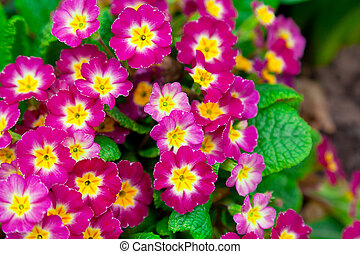 Perennial primrose or primula in the spring garden.