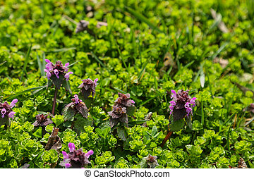 Perennial primrose or primula in the spring garden. Spring primroses flowers, primula polyanthus.
