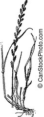 Perennial Ryegrass or Lolium perenne, vintage engraving. - ...