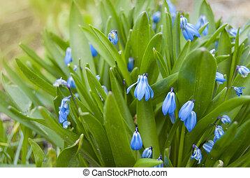 Perennial spring blue (Scilla) flower.