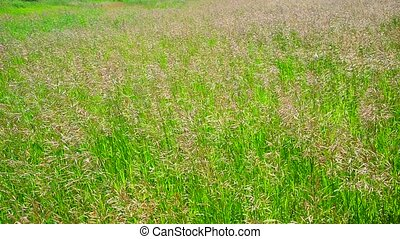 Perennial tall grass rump in wind - Perennial tall grass...
