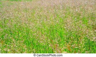 Perennial tall grass rump in wind - Perennial tall grass...