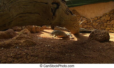 Steady, medium wide shot of a perentie underneath a large log in a man-made habitat.