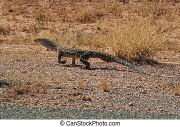 Perentie - Varanus Giganteus - Big goanna from australia.