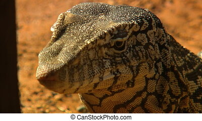 Perentie's Head And Tongue - Steady, close up shot of a ...