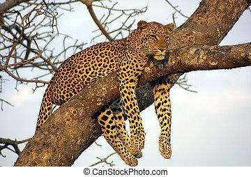 perezoso, leopardo