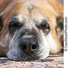 perezoso, perro viejo