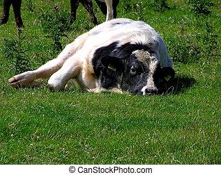 perezoso, vaca