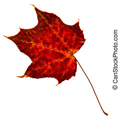 Perfect autumnal leaf