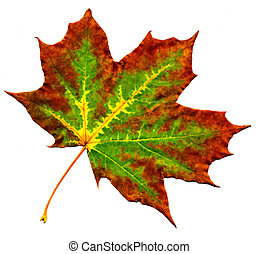 Perfect autumnal maple leaf - A perfect maple autumnal leaf,...