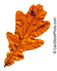 Perfect autumnal oak leaf - A perfect autumnal oak leaf,...