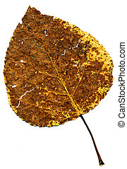 Perfect autumnal poplar leaf - A perfect autumnal poplar...