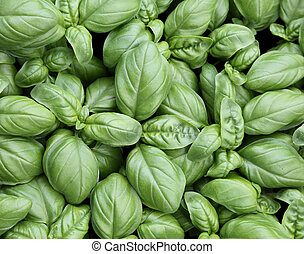 perfect background of green basil