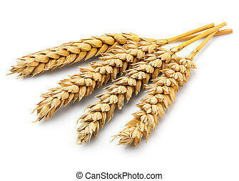 Dried Wheat Ear - Perfect Cleaned Dried Wheat Ear Isolated...