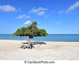 Perfect Day with a Divi Tree on a Beach in Aruba