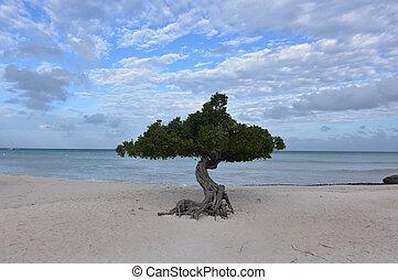 Perfect Divi Tree on Eagle Beach in Aruba