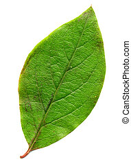 Perfect green leaf - A perfect green leaf. Over white. Makes...