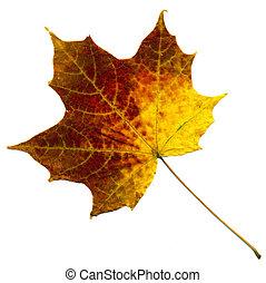 perfect, herfstachtig, esdoorn blad