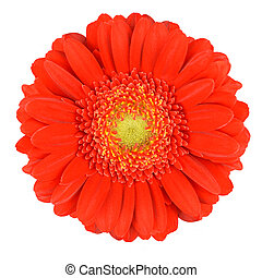Perfect Orange Gerbera Flower with Yellow Center. Close-up Isolated on White Background