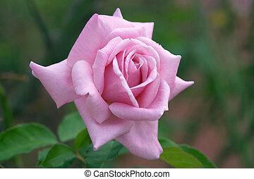 Perfect Pink Rose - beautiful, bush, bushes, delicate, ...