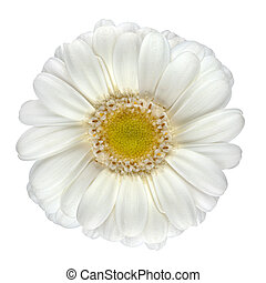 Perfect White Gerbera Flower Isolated on White
