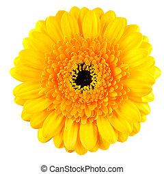 Perfect Yellow Gerbera Flower Macro Isolated on White