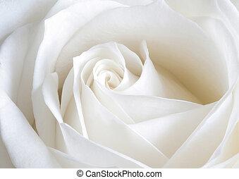 photo of white rose