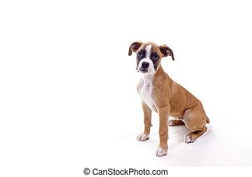 perfekt, bokser, hundehvalp