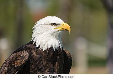 perfil, águila, calvo, primer plano