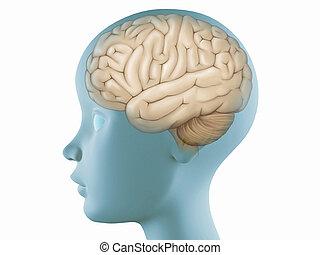 perfil, cerebro, cabeza