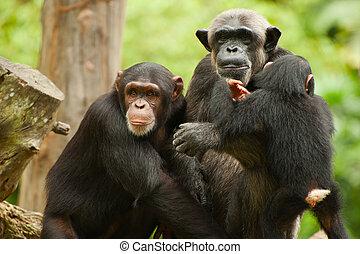 perfil, chimpancé, familia