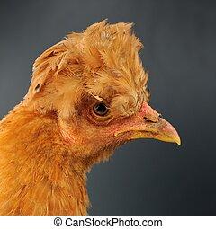 perfil, crested, galinha, vermelho