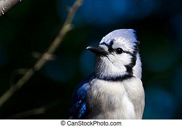 perfil, de, un, arrendajo azul, contra, un, azul oscuro, plano de fondo