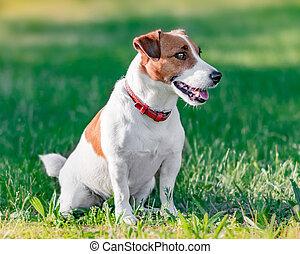 perfil, lindo, primer plano, derecho, marrón, verano, terrier, parque, sentado, soleado, sitio, perro, mirar, verde, gato, pequeño, retrato, blanco, pasto o césped, russel, día