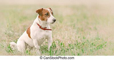perfil, lindo, primer plano, derecho, verano, terrier, sentado, soleado, perro, claro, lado, mirar, gato, pequeño, retrato, blanco, pasto o césped, russel, día, rojo