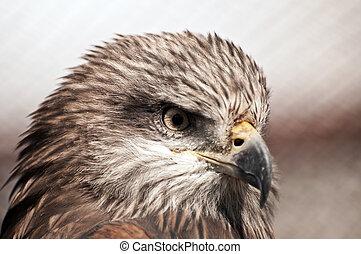 perfil, marrón, águila, vista